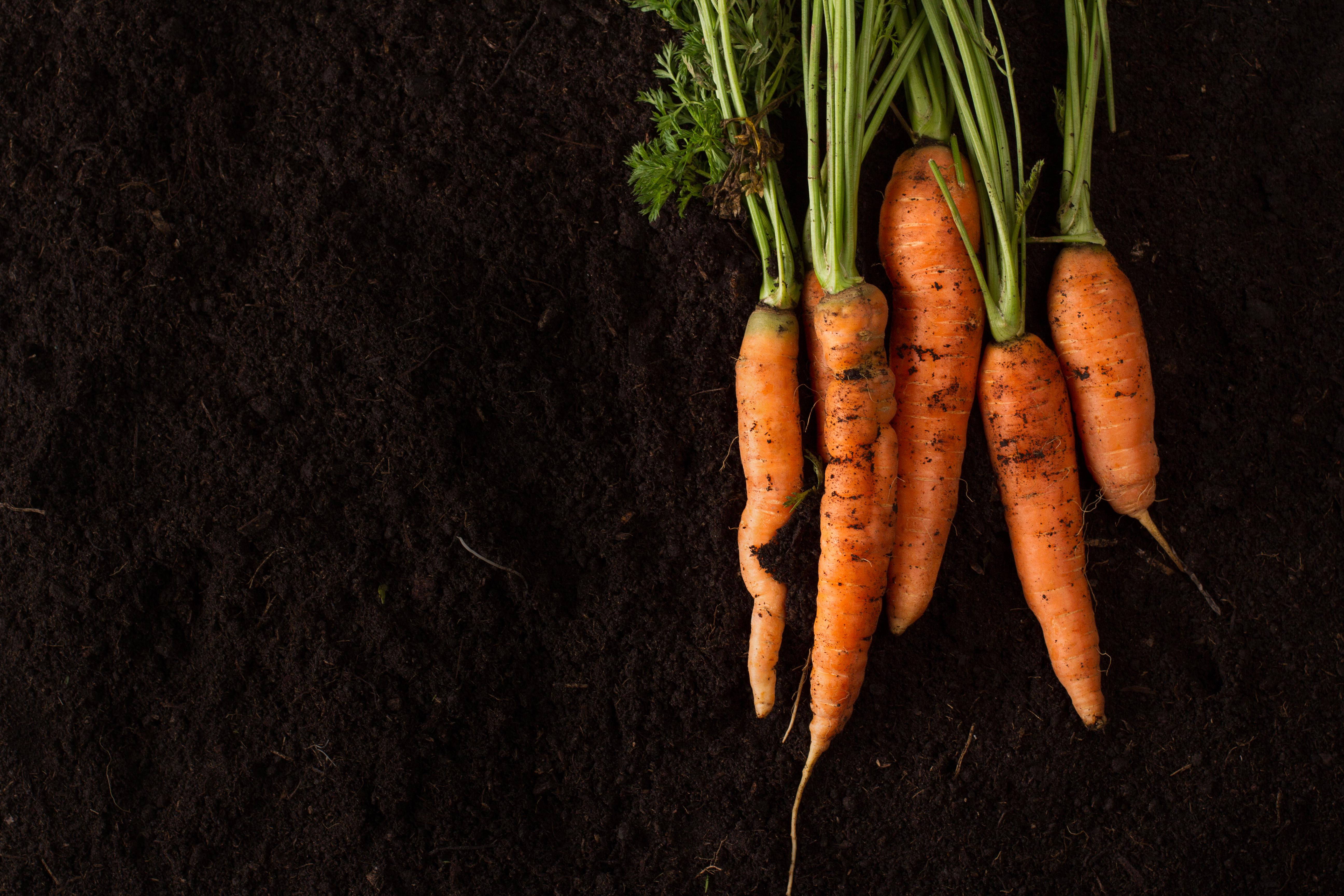fresh-carrots-on-dark-soil-background-texture-P4NAXR7